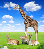 Red lechwe antelope with giraffe Royalty Free Stock Photos