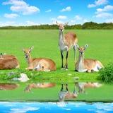 Red lechwe antelope Royalty Free Stock Photos