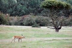Red Lechwe Antelope (Kobus leche) Stock Photo