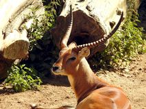 Red lechwe antelope royalty free stock photography