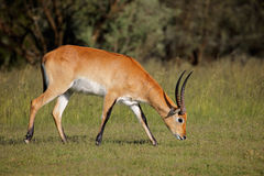 Red lechwe antelope Royalty Free Stock Photos