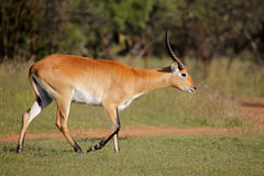 Red lechwe antelope Royalty Free Stock Image