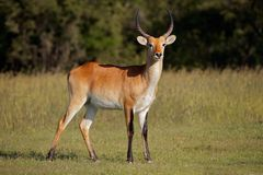Red lechwe antelope in natural habitat. Male red lechwe antelope Kobus leche in natural habitat, southern Africa stock photography