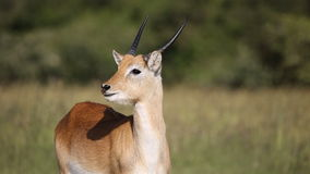 Red lechwe antelope stock video