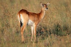 Red lechwe antelope, southern Africa Stock Photo