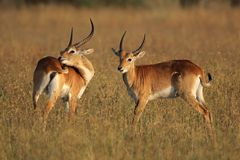 Red lechwe antelopes Royalty Free Stock Image
