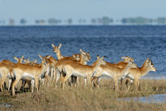 Red lechwe antelopes. Herd of red lechwe antelopes (Kobus leche), Chobe National Park, Botswana stock photo