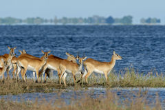 Red lechwe antelopes. Herd of red lechwe antelopes (Kobus leche), Chobe National Park, Botswana royalty free stock photos