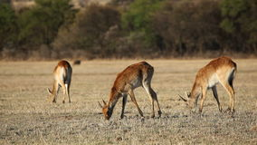 Red lechwe antelopes Stock Photography