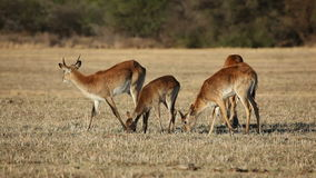 Red lechwe antelopes stock footage