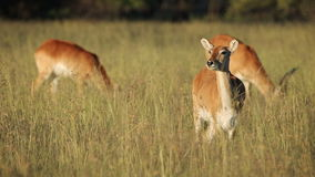 Red lechwe antelopes stock video footage
