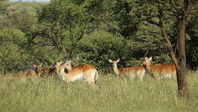 Red lechwe antelopes stock video