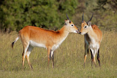 Red lechwe antelopes Stock Photos