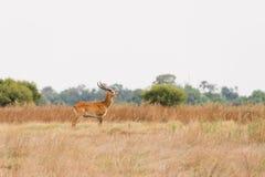 Red Lechwe in Botswana. Red Lechwe (Kobus leche) male standing in grassland flood plains, Okavango Delta, Botswana stock photography