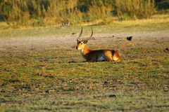 Red Lechwe comtemplating Stock Photos