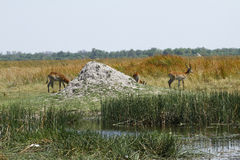 Red Lechwe comtemplating Stock Images