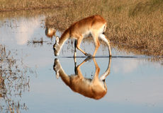 Red Lechwe Drinking. In stream in the Okavango Delta. Reflection of Lechwe in the still water Royalty Free Stock Photography