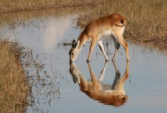 Red lechwe drinking. In stream, reflected in water, ditorted by ripples in water. taken in Okavango Delta, Botswana Stock Images
