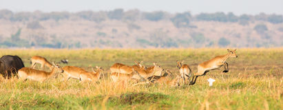 Red lechwe herd on the move. In Africa Stock Photo