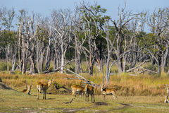 Red lechwe herd standing in the forest royalty free stock image