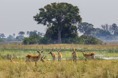 Red lechwe royalty free stock image
