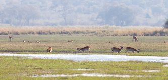 Red lechwe Kobus leche. Near water, Namibia stock images