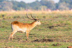 Red lechwe. Looking for does Stock Photos