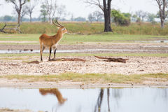 Red Lechwe reflection Royalty Free Stock Image