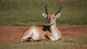 Red lechwe resting Stock Image