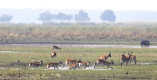 Red lechwe running and playing stock photography