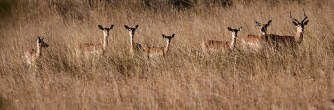 Red lechwe are wary antelopes, and turn to watch the photographer royalty free stock images
