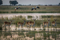 Red lechwe in wetlands with birds above Royalty Free Stock Images