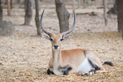 Red lechwe in zoo. Red lechwe (kobus leche) resting alone in zoo stock image