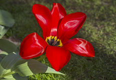 Red Lefebre Tulip Royalty Free Stock Image