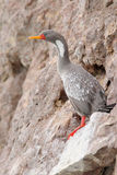 Red-legged Cormorant in Patagonia Royalty Free Stock Photos