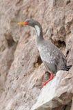 Red-legged Cormorant in Patagonia. Red-legged Cormorant (Phalacrocorax gaimardi Royalty Free Stock Photos