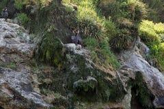 The red-legged cormorant Phalacrocorax gaimardi Royalty Free Stock Photos