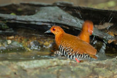 Red-Legged Crake(Rallina fasciata) Stock Image