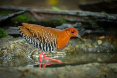 Red-Legged Crake (Rallina fasciata ) walking Royalty Free Stock Image