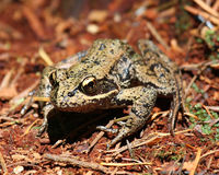 Red-legged frog. A red-legged frog on the forest floor in the Cascade Mountains Royalty Free Stock Images