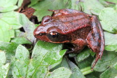 Red-legged Frog Royalty Free Stock Photos