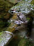 Red-legged Frog Hiding Stock Photography