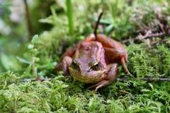 Red Legged Frog Royalty Free Stock Image