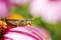 Red-legged gräshoppa på rosa blomma Arkivfoton
