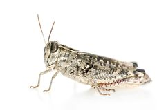 Red-legged Grasshopper Royalty Free Stock Photography