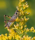 Red Legged Grasshopper Royalty Free Stock Photos