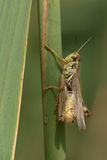 Red-legged Grasshopper Royalty Free Stock Photos