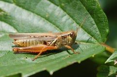 Red-legged grasshopper, Melanoplus femurrubrum Royalty Free Stock Photography