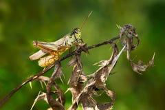 Red-legged Grasshopper Royalty Free Stock Photography