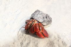 Red Legged Hermit Crab in Mexico beach sand Royalty Free Stock Image